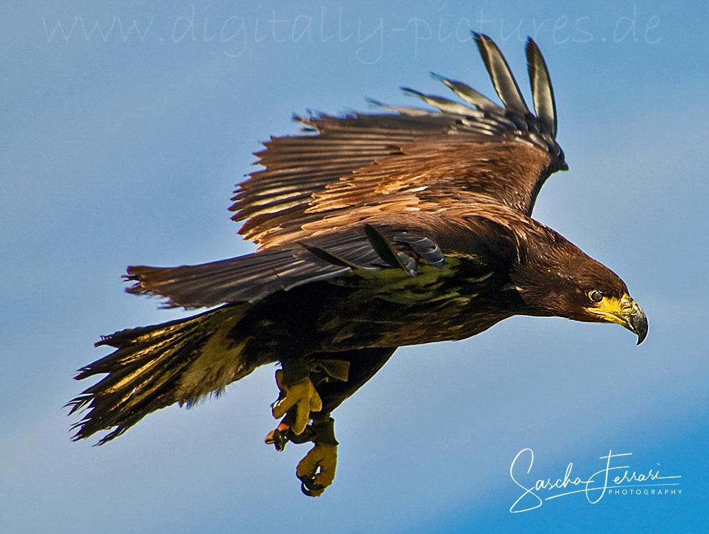 Adler Sturzflug